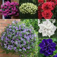 18 Trailing Double Petunia Collection