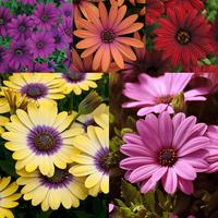 6 Osteospermum Serenity Collection