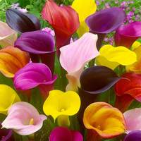 Calla Lilies Mix Bedding 12/14cm (Zantedeschia)