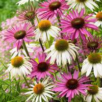 Echinacea Purpurea Mixed (5cm Modules)