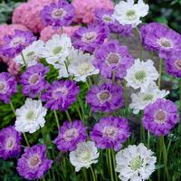 Scabiosa Premium Caucasica Mixed (5cm Modules)