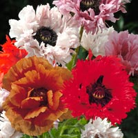 3 Oriental Poppies Mixed