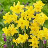 15 Narcissi Lemon Sailboat 10-12cm