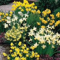 25 Rockery Narcissi Mixed 10/12