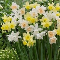 25 Triandrus Narcissi Mixed 10/12cm