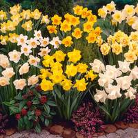 120 Narcissi UK Grown Collection