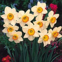 15 Daffodil Flower Record