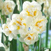15 Narcissi The Bride 12/14cm