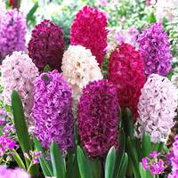 10 Hyacinth Passion Mix 17-18cm