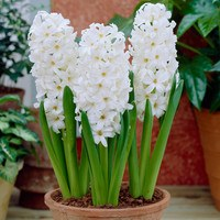5 Prepared Hyacinth Aiolos