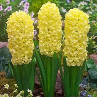 5 Prepared Hyacinth City of Haarlem 16/17cm