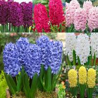 30 Prepared Hyacinth Collection 16/17cm