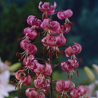Lily Martagon Pink