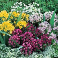 200 Small Flowering Allium Collection