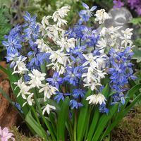 100 Scilla Siberica Collection