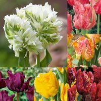 60 Parrot Tulip Collection