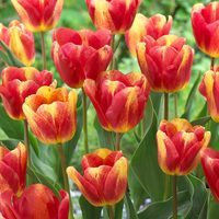15 Tulip Colour Mystic