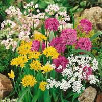 50 Allium Small Flowered Mixed