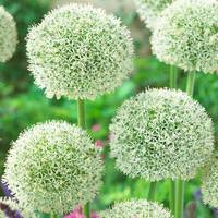 3 Allium White Giant 18cm+