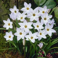 100 Ipheion Uniflorum