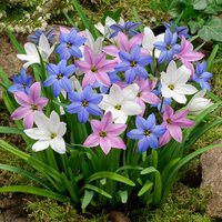 50 Ipheion Uniflorum Mixed