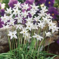50 Ipheion Uniflorum White Star