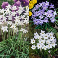 200 Ipheion Uniflorum Collection
