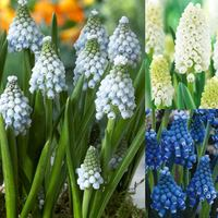 100 Muscari Magic Collection