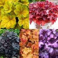 5 Luxury Heuchera Collection
