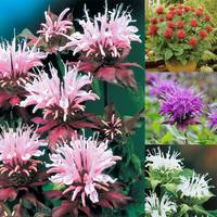 4 Fragrant Monarda Collection