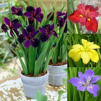 4 Iris Louisiana Collection