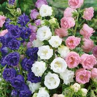 6 Campanula Medium Double Collection