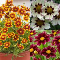 3 Hardy Coreopsis Collection