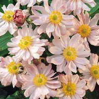 3 Anemone japonica Queen Charlotte