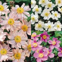 3 Japanese Anemone Collection