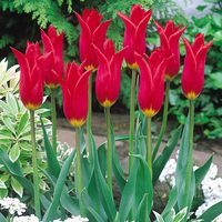 10 Tulip Red Shine
