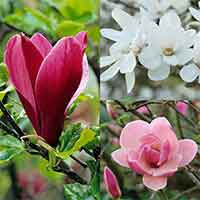 3 Magnolia Unusual Collection
