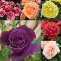 6 Award Winning Rose Collection