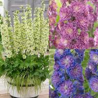 3 Delphinium Highlander Collection