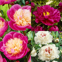 Peony Collection