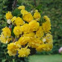 3 Begonia Giant Cascading Yellow