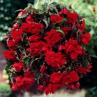 3 Begonia Giant Cascading Scarlet 5/6cm Tubers