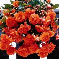 3 Begonia Giant Cascading Orange