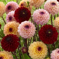 9 Dahlia Jill Collection