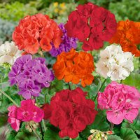 6 Geranium Premium Patio Mixed (Zonal)