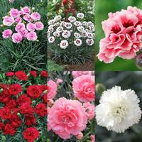 18 Dianthus Scent First Collection