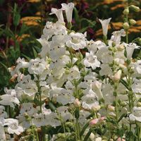 6 Penstemon Pensham Wedding Bells