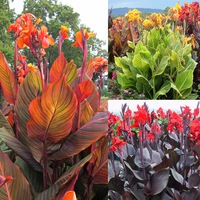 3 Canna Tropicanna Collection