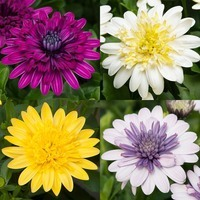 12 Osteospermum 3D Collection