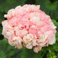 4 Geranium Apple Blossom